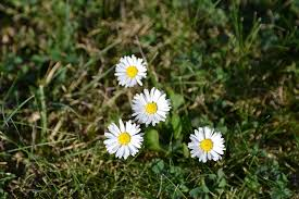 Common Daisies Are Among The Most Instantly Recognisable Weeds In Britain Thanks To Their Striking Flowers These Feature White Fleshy Leaves And