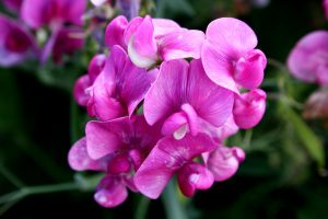 Sweet Pea fast growing climber