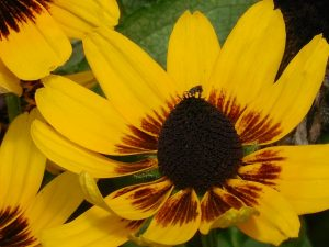 black eyed susan fast growing climbers