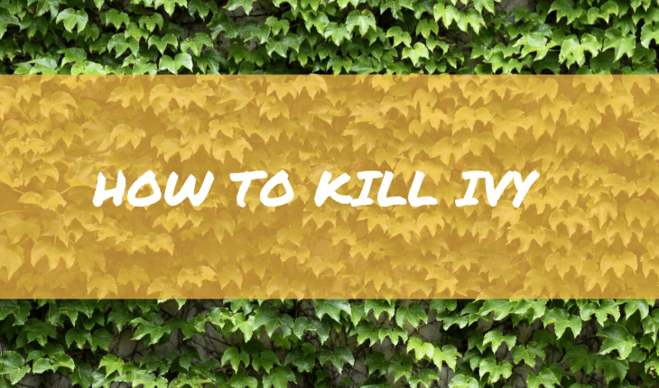 How to kill and get rid of Ivy