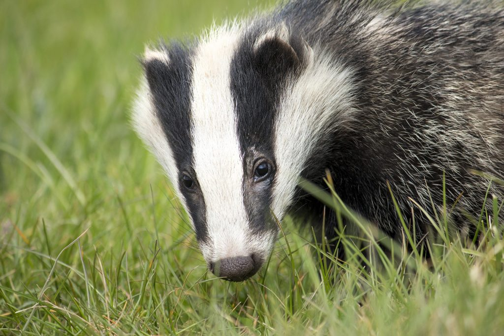 Why Badgers Come to Your Garden