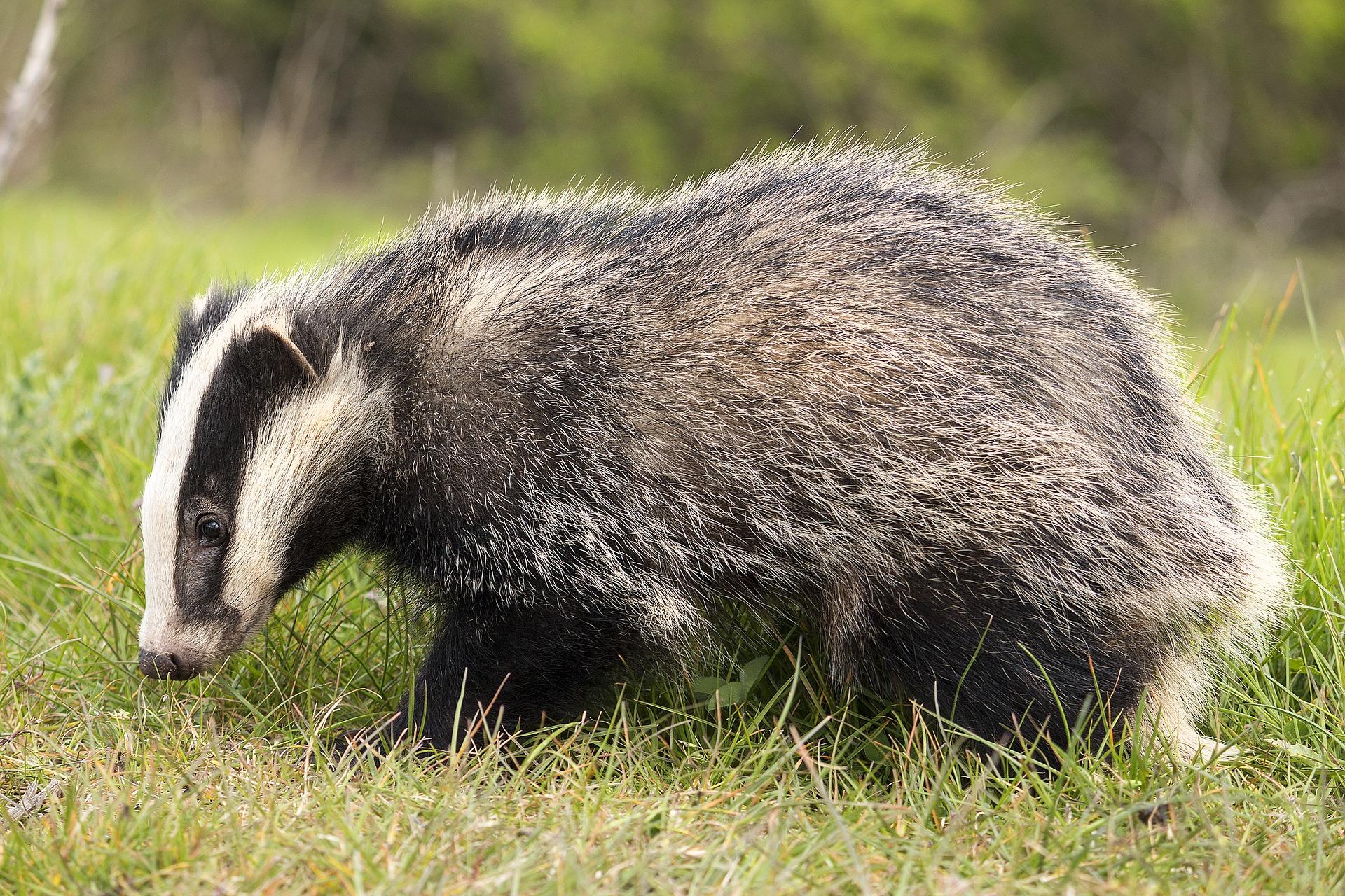deter badgers