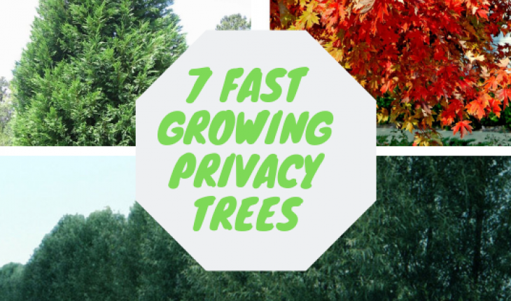 7 fast growing privacy trees