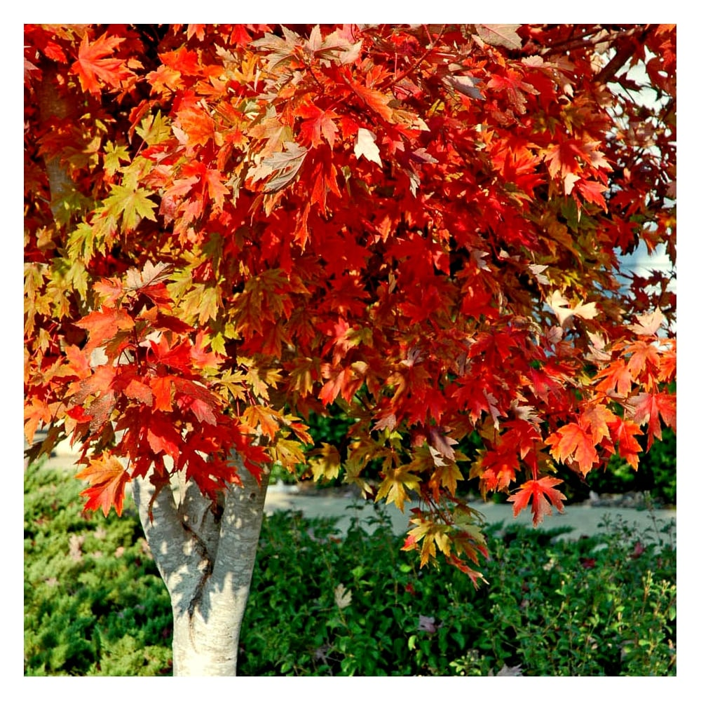 https://www.ornamental-trees.co.uk/acer-freemanii-autumn-blaze-tree-p612