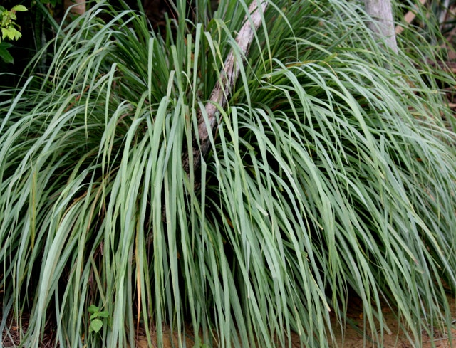 Lemon Grass and Eucalyptus