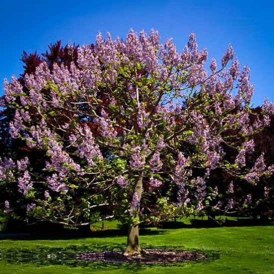 Royal Empress Tree (Paulownia elongata)