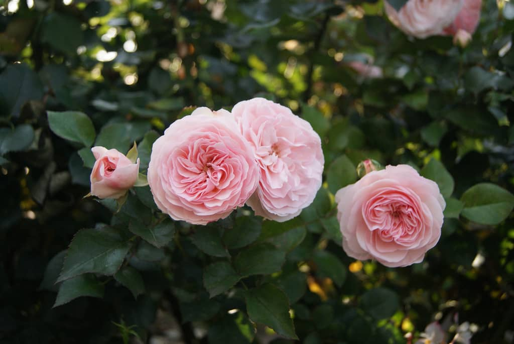 A Shropshire Lad Rose climbing