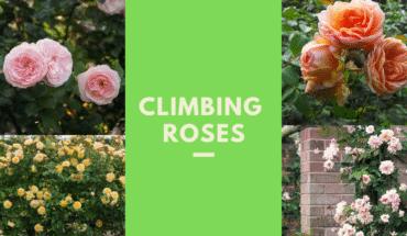 Best Climbing Roses