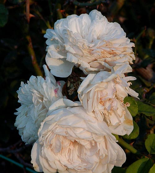 Sombreuil Rose